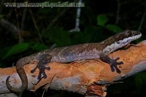 Pseudothecadactylus australis, a crown-giant-like gecko. Photo from www.gondwanareptileproductions.com