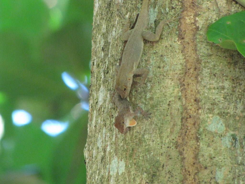 Attempted forced copulation in Anolis cristatellus