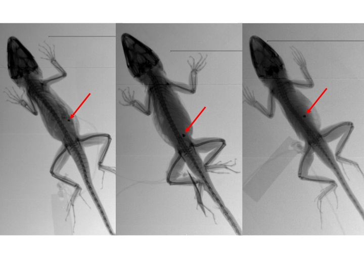 Three different individuals of Anolis cybotes that appear to have small pebbles or debris in their guts.