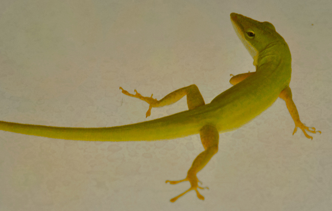 Anolis carolinensis.  Photo taken by Kathleen Foster.