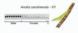 PCR validation of the male-specific RAD-seq marker in Anolis carolinensis.