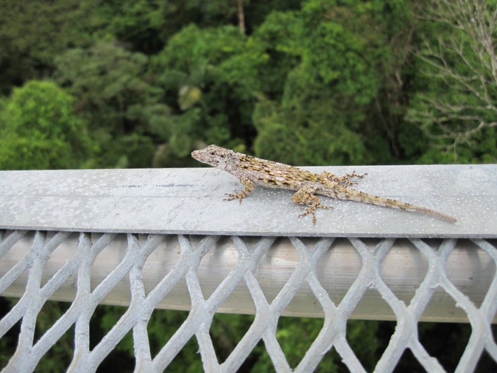 Anolis pentaprion taxiing down the runway on a canopy tower at the La Selva Biological Station in Costa Rica. Photo by Vinicio Paniagua.