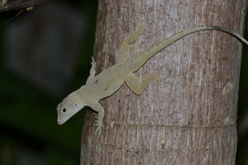 Anolis distichus. Photo Jonathan Losos