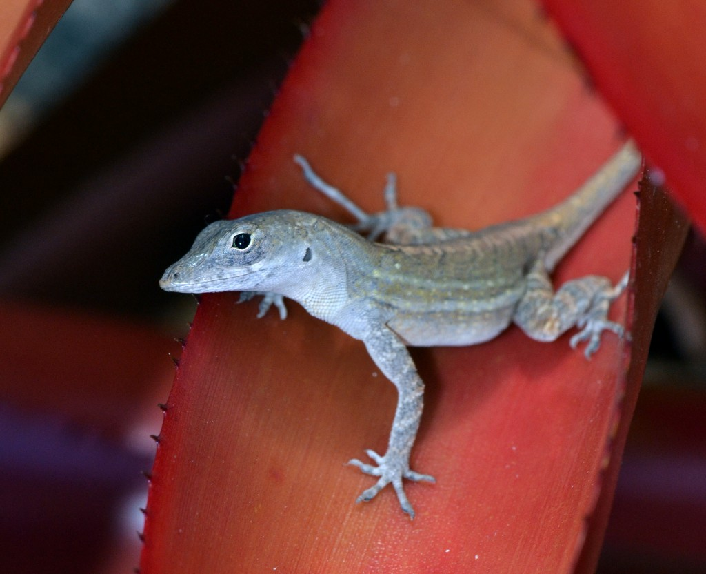 Anolis sagrei. Photo by Jonathan Losos