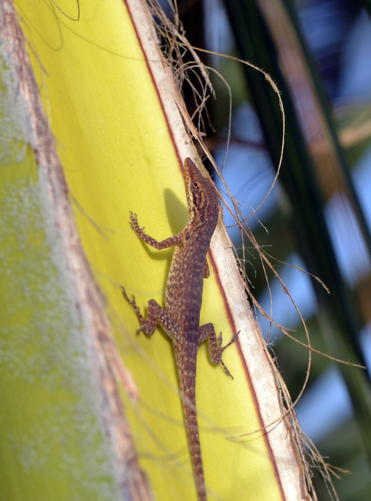 Anolis smaragdinus. Photo by Jonathan Losos