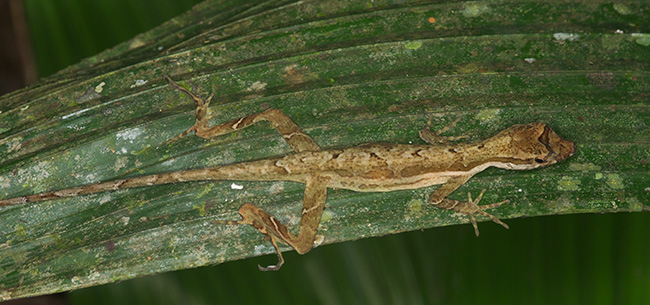Anolis trachyderma sleeping on a leaf at night near Iquitos, Peru.