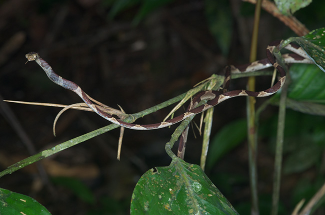 Imantodes cenchoa with just the tail tip of Anolis trachyderma still unswallowed