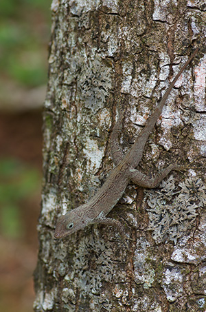 Small brown anole by roadside snack stand, El Yunque National Forest