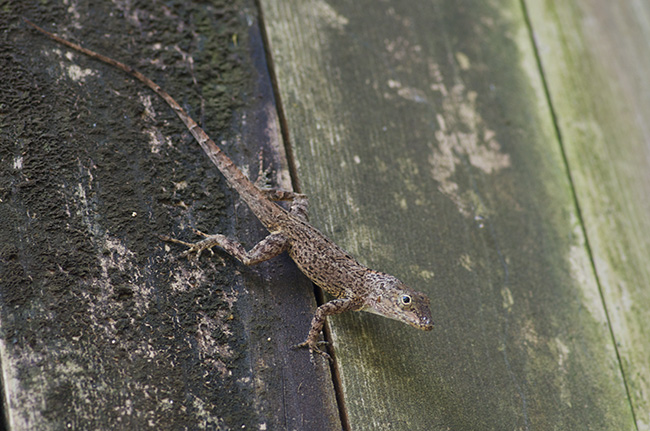 Small brown anole at Parque de las Cavernas del Rio Camuy