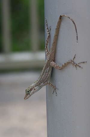 small brown anole at Arecibo Radio Telescope