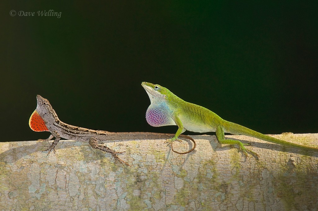 Brown and green anole on South Padre Island. Photo by Dave Wells.
