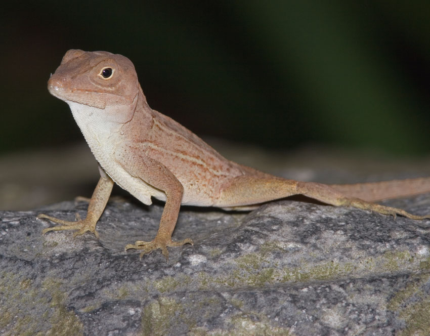 Anolis cybotes sitting on a rock. Image from Discover Life.