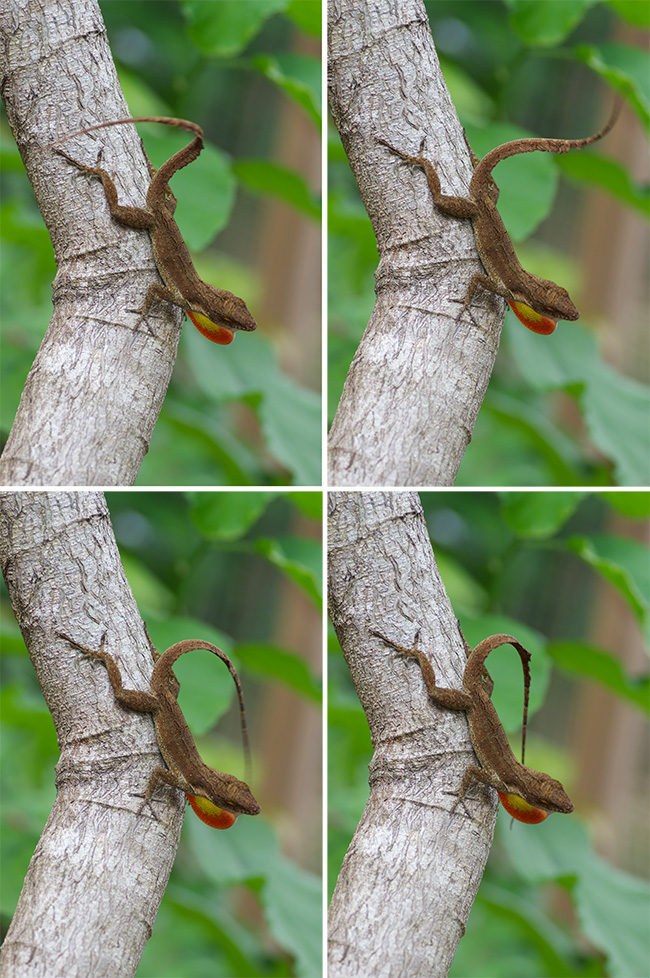Anolis cristatellus wileyae on St. Thomas wagging its tail as it shows its dewlap.