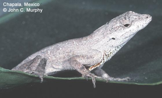 Image of Anolis nebulosus taken by John Murphy and borrowed from the Reptile Database.