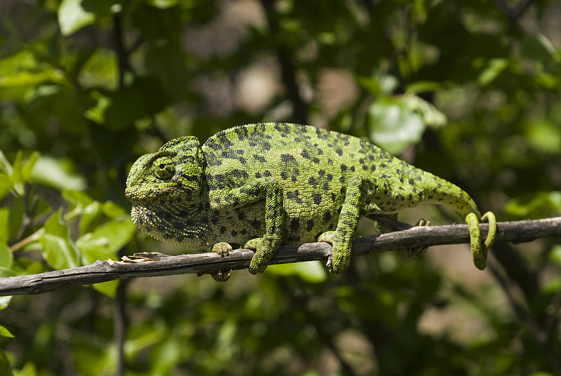 Common Chameleon by Benny Trapp from Wikimedia
