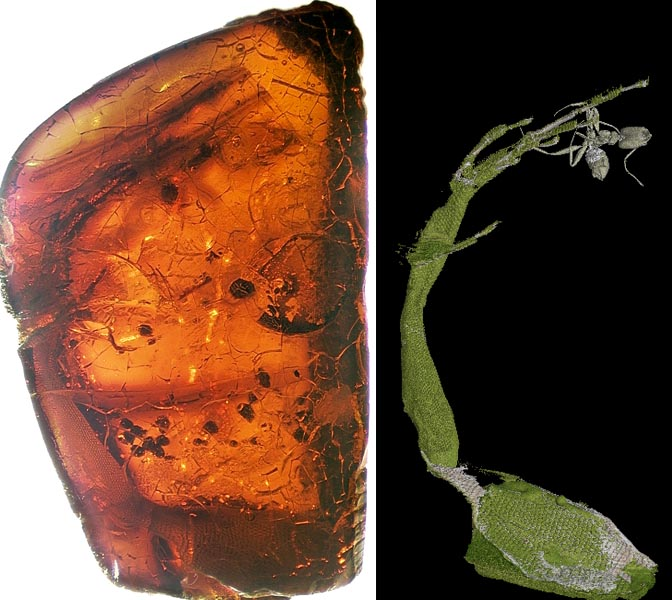 The amber fossil (left) and x-ray CT reconstruction (right) of one half of the Mexican amber fossil, Anolis electrum.