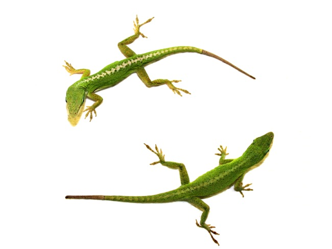 Anolis carolinensis duo with regenerated tails. Photo credit: Joel Robertson.
