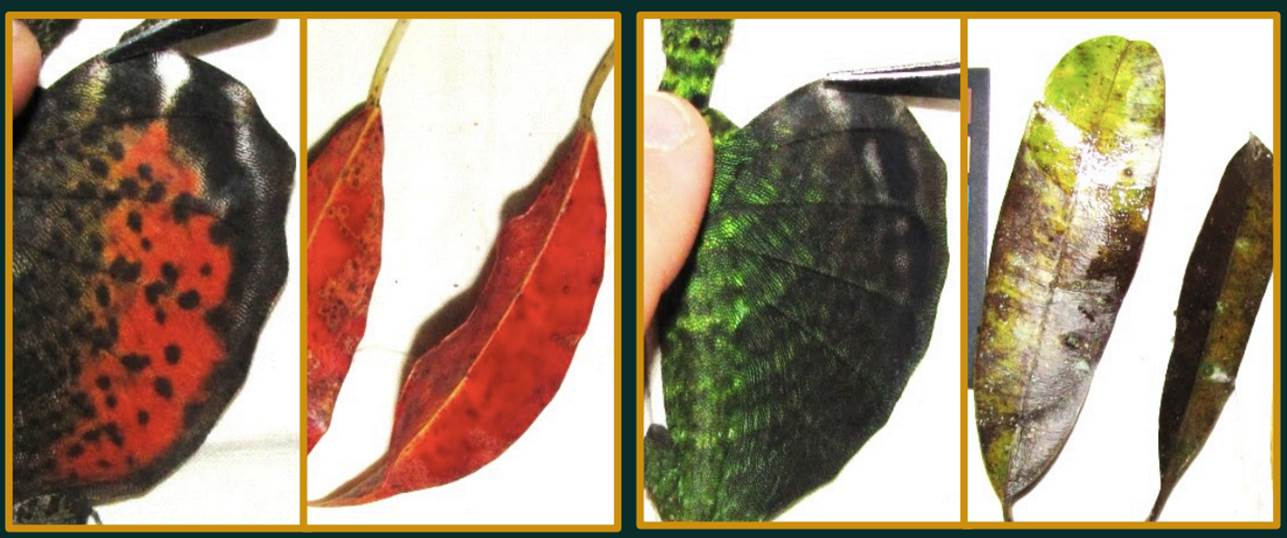 Patagia and falling leaves from two populations of Draco cornutus. Photos by Danielle Klomp.