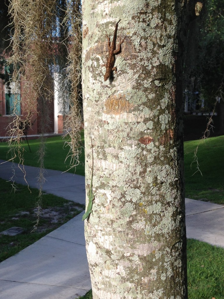 A. carolinensis perched below A. sagrei on the University of Florida campus in Gainesville.