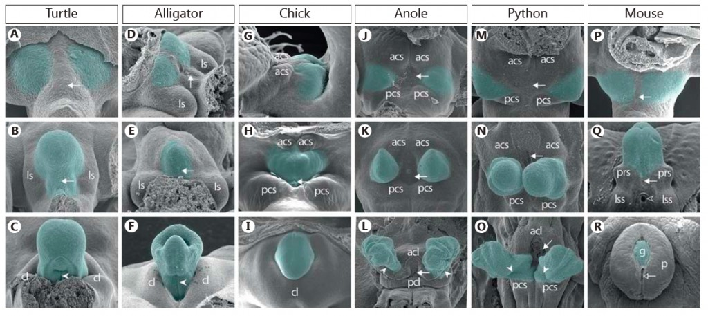 Figure 2 from Gredler et al. illustrating 1) the conservation of early genital development among amniotes and 2) the diversity of amniote genitals already apparent at late embryonic stages.