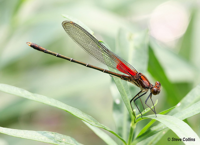 Hey, that's not an anole! Rubyspot Damselfly (Hetaerina americana) Copyright Steve Collins