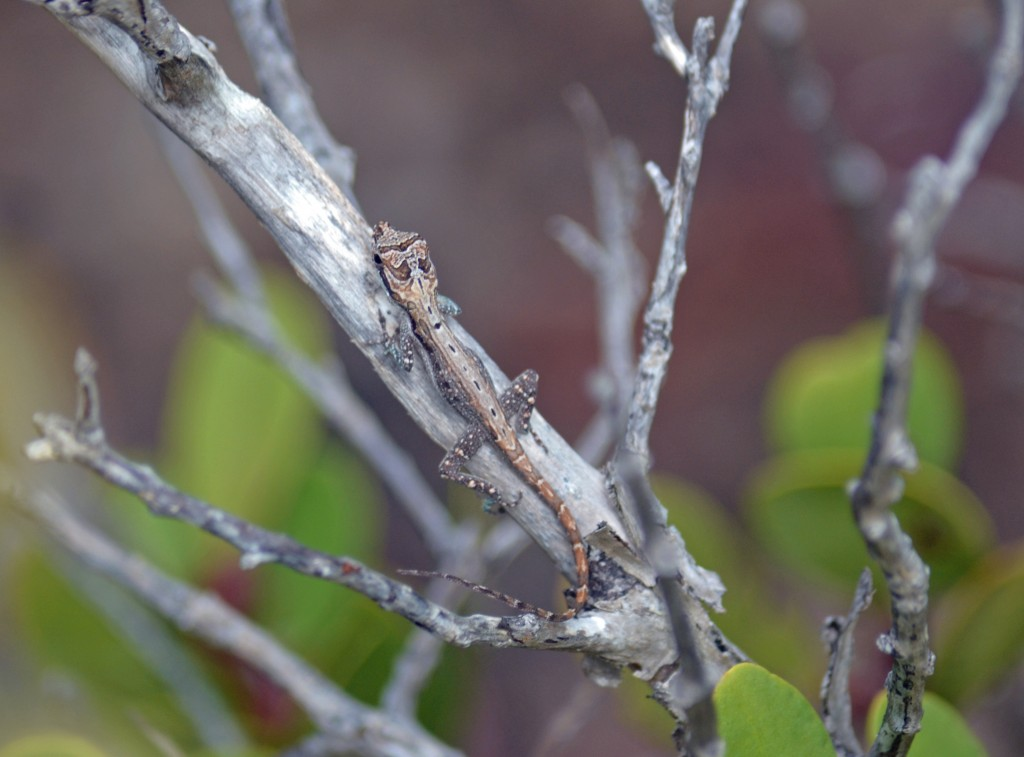 Juvenile Anolis s. scriptus from the Turks and Caicos islands. Photo by Greg Braun.