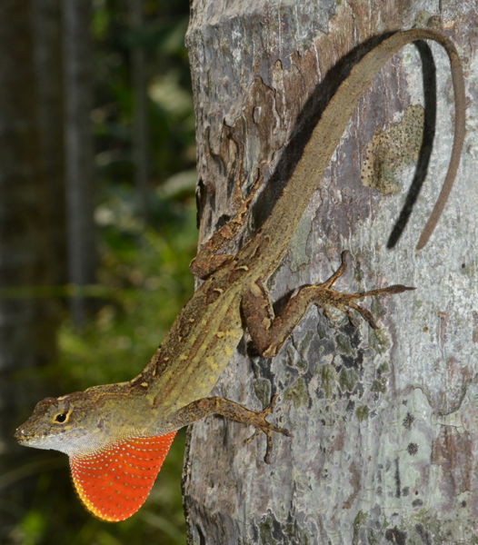 An Anolis sagrei male from Chiayi County, southwestern Taiwan.