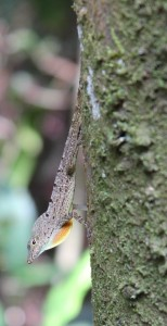 Anolis stratulus, one of the species studied. Photo by Jerry Husak.