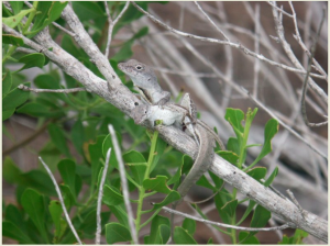 Anolis sagrei mating. Taken from the Cox lab website.