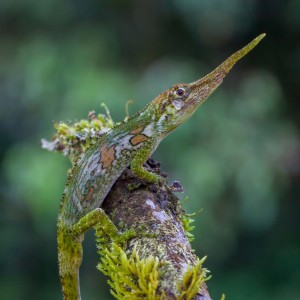 Anolis proboscis (photo by Luke Mahler)
