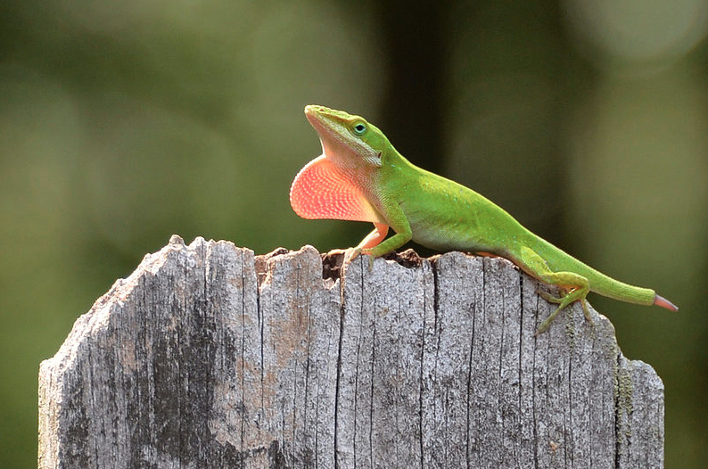 Anolis carolinensis dewlapping. Photo by Cowenby available on Wikipedia.
