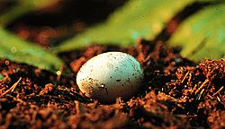 The substrate in which an egg develops affects the desiccation tolerance of the hatchling. Photo by Matt Lovern.