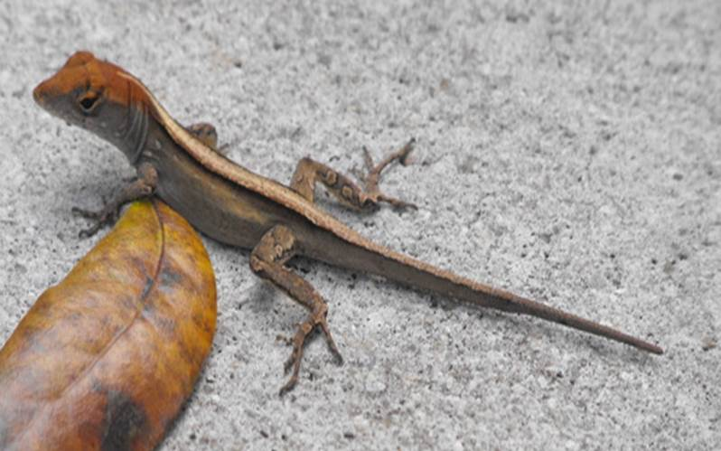 Juvenile brown anole, originally posted by Nick Cairns on AA.