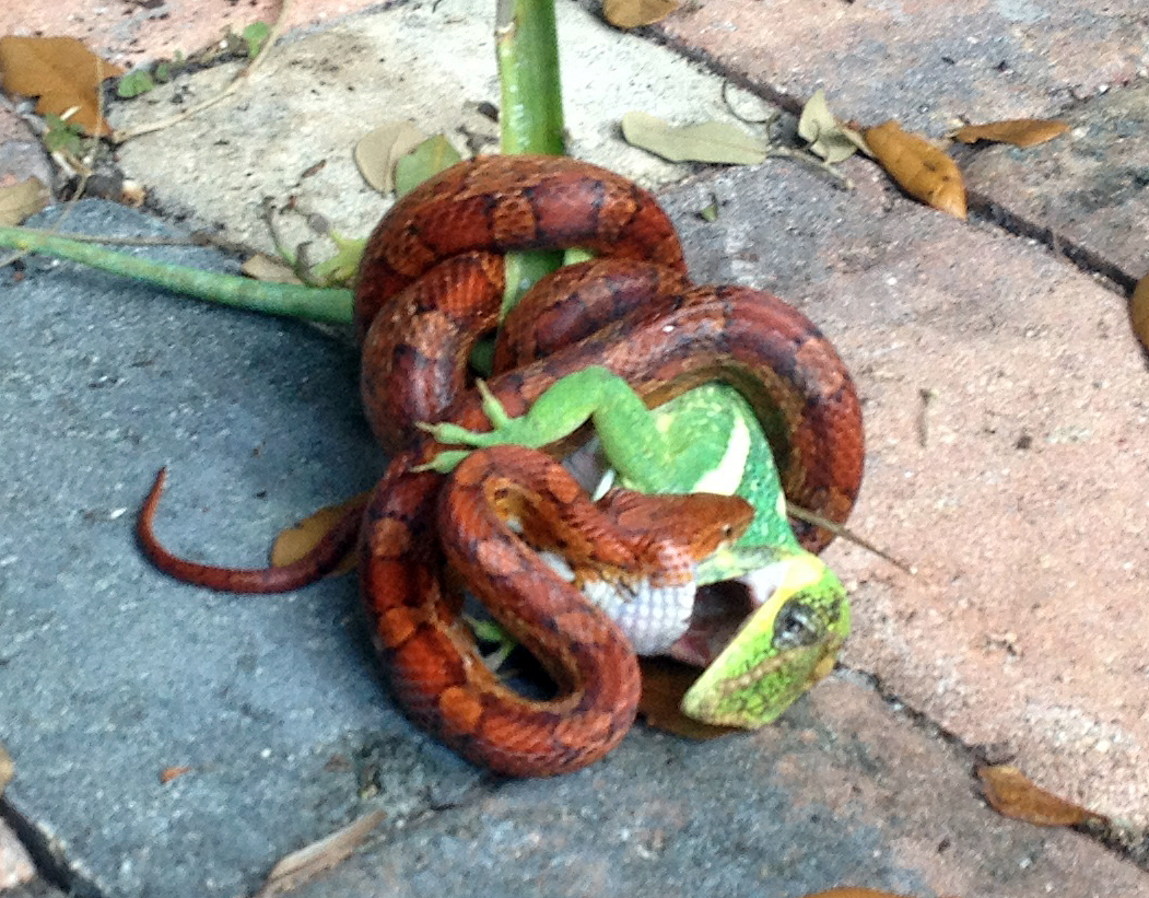 equestris being eaten by a snake2x
