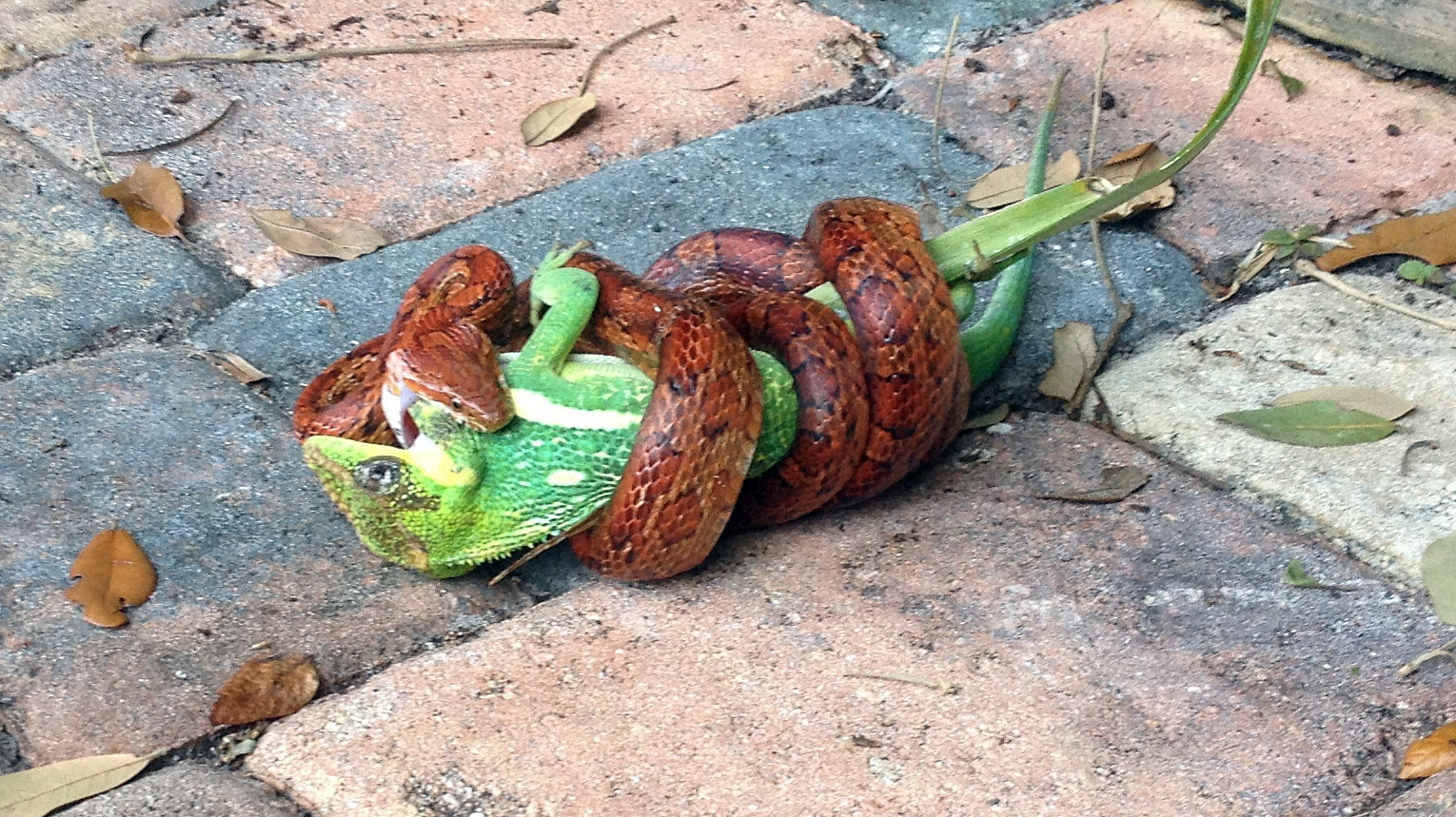 equestris being eaten by a snakex
