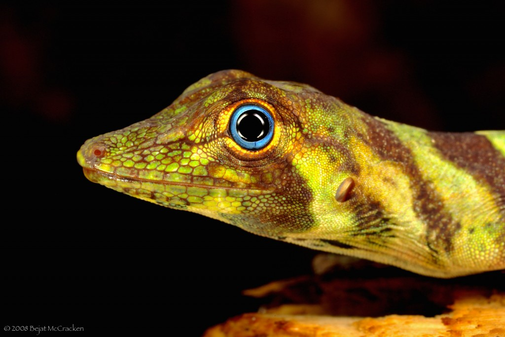 Anolis transversalis. Photo by Bejat McCracken.