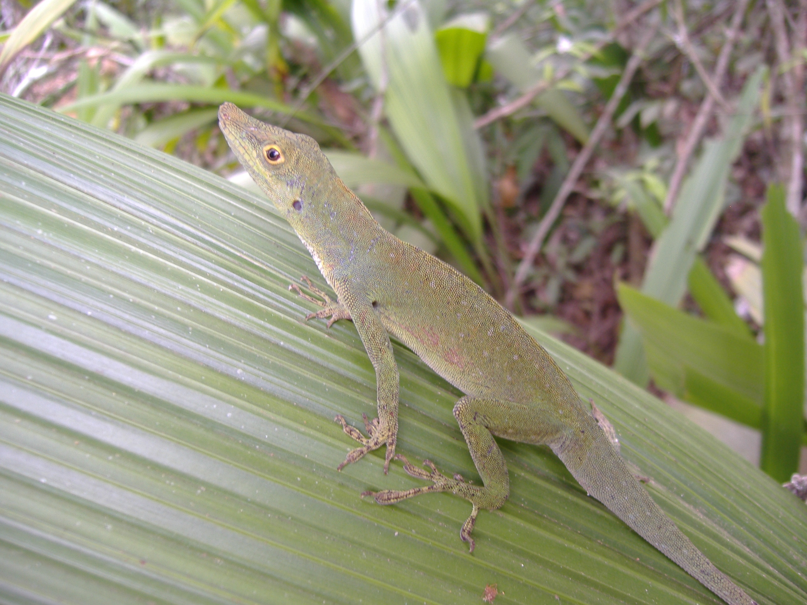 anole annals your source for the latest on anolis lizards page 29