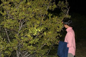 Mangrove forest nocturnal survey.