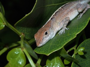 Female Anolis sagrei