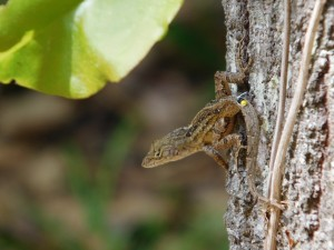 A bead-tagged brown anole