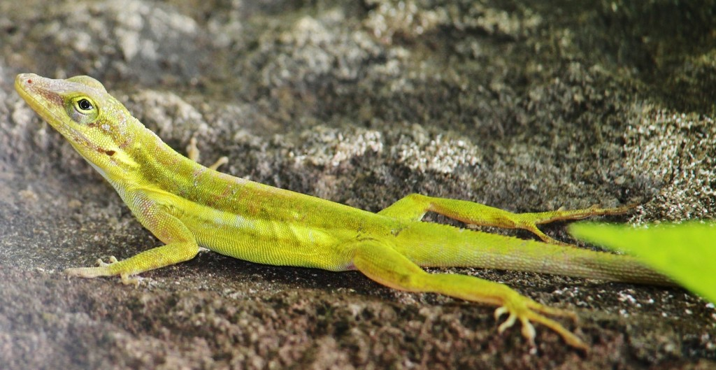 Green Anole 1