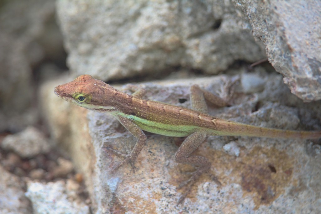 Green Anole 3