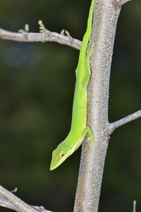 Anolis smaragdinus from Ragged Island