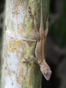 Anolis cristatellus in survey posture (photo by K. Winchell)