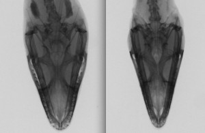 Head shape variation between an anole from Cedar Creek, OK (left) and one from Punta Gorda, FL (right).