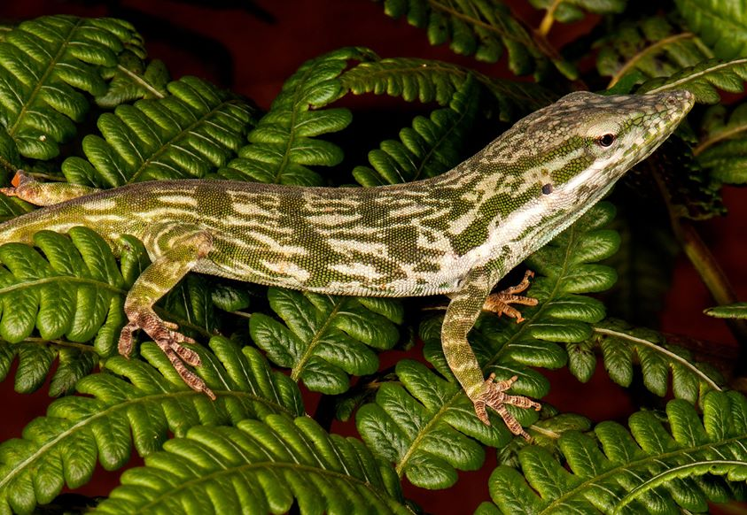 Anolis toldo. Photo by Luis Diaz.