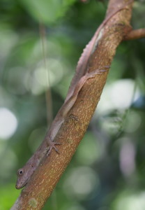 Anolis cristatellus (photo by KMW)