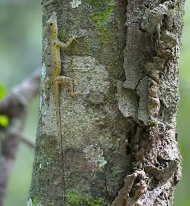 Anolis stratus (photo by KMW)