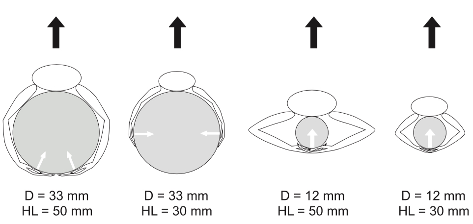 Figure 1 from Kolbe 2015: Interaction between limb length and perch diameter on clinging posture. Hindlimb lengths (HL) depicted here are representative of adult male A. cristatellus (50mm) and female A. cristatellus, male A. stratulus, and female A. stratulus (30mm). Black arrows indicate the direction of force applied (pulled away from the substrate) and white arrows indicate the direction of the force applied by the distal portions of the lizard limbs.