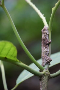 Anolis pentaprion 1